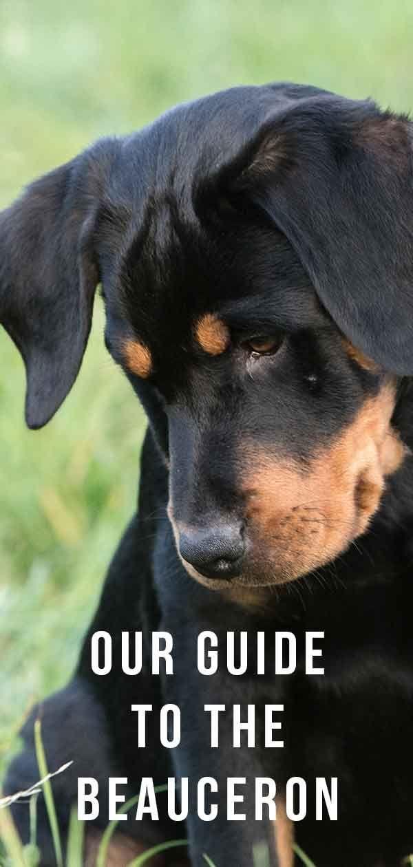 Beauceron - močan pastirski pes iz Francije