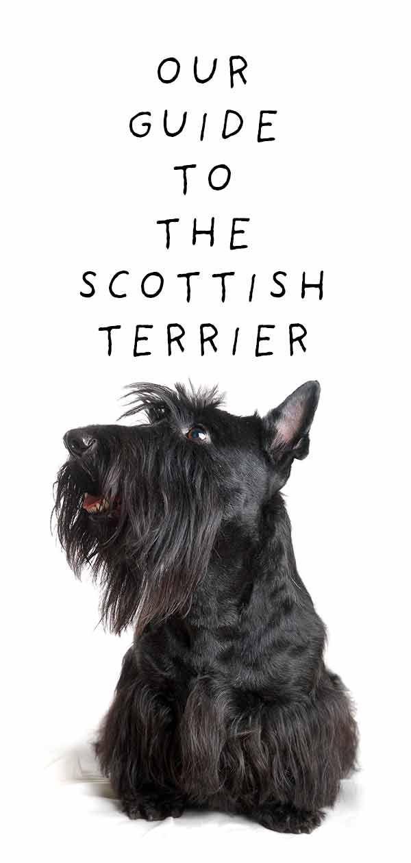 Шкотски теријер - Да ли би ова фасцинантна пасмина одговарала вашем животном стилу?