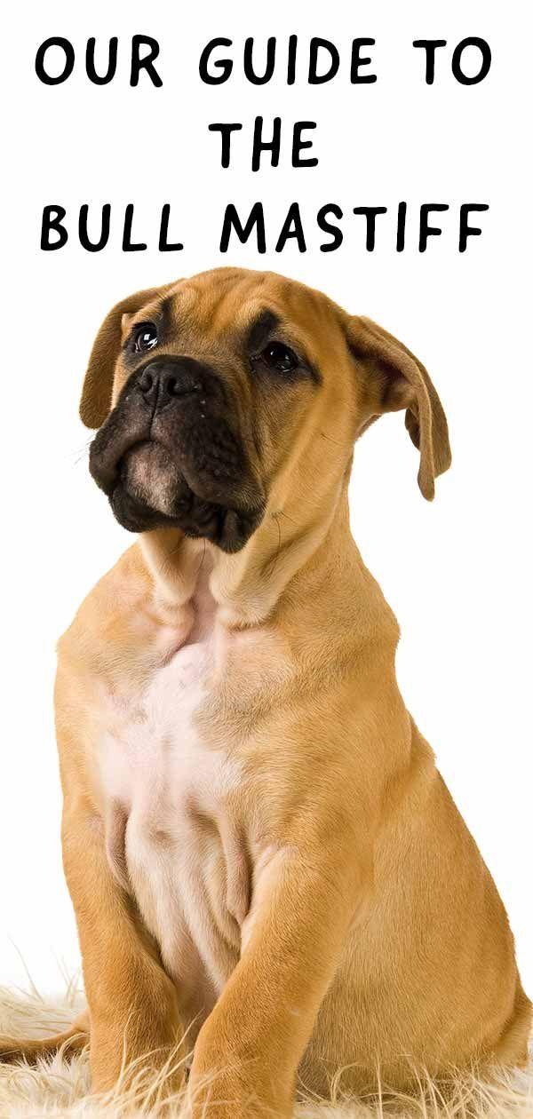 Bullmastiff - Nur ein großartiger Wachhund oder das perfekte Haustier?