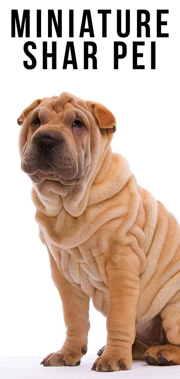 Miniature Shar Pei - Un guide de la version plus petite de la race