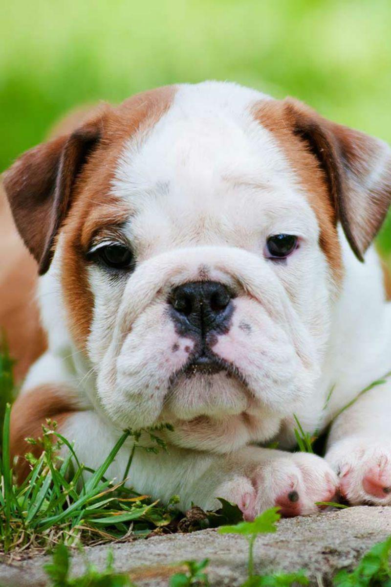 Combien coûtent les bulldogs anglais? Le coût d'achat et d'élevage d'un bouledogue
