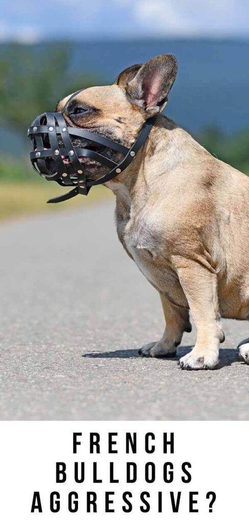 Vai franču buldogi ir agresīvi, vai arī tie ir draudzīgi ģimenes suņi?
