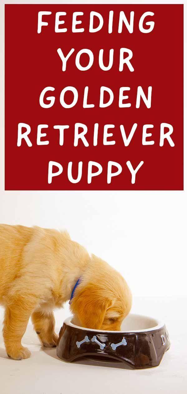Golden Retriever Yavrusu Beslemek: Goldie Besleme Rehberiniz